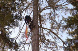 Baum Tree Care performing removal