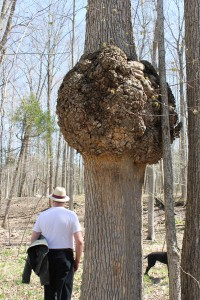 Abnormal tree trunk