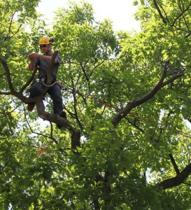 Man up on a branch pruning a Red Oak