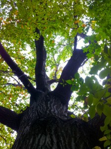 Looking up into top of a tree