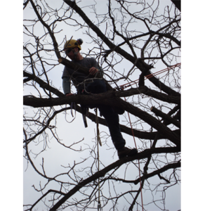 Arborists using skills to repair tree