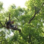 Baum Tree Care Pruning a Red Oak