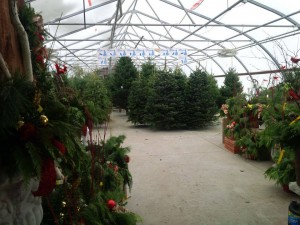 Inside a greenhouse with christmas trees