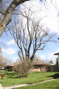 Old tree in need of repair from Baum Tree Care