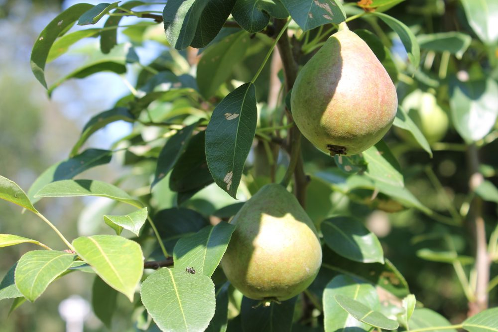Pear Tree receives fruit tree pruning services in Ontario