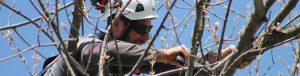 Skilled arborist repairing tree