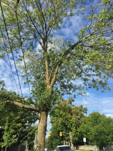 Large tree repair with Baum Tree Care