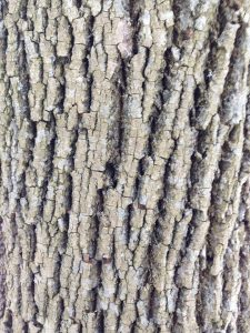 Ash Bark Baum Tree Care