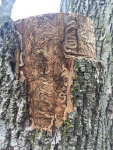 Serpentine galleries left by emerald ash borer larvae in the cambium bark layer