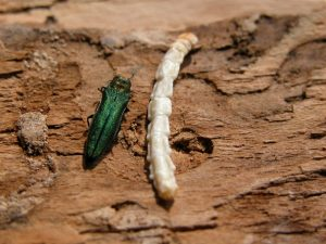 EAB Beetle and Larva