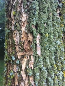 Patchy-looking ash tree bark may be a sign of the emerald ash borer
