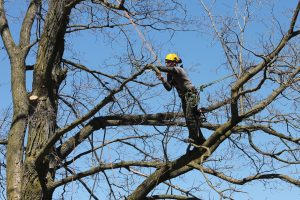 Baum Tree Care working up in the trees