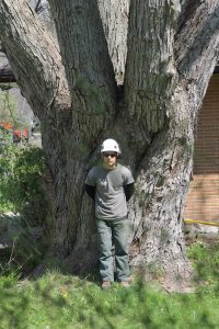 Experienced arborist at Baum Tree Care preparing for a crown reduction
