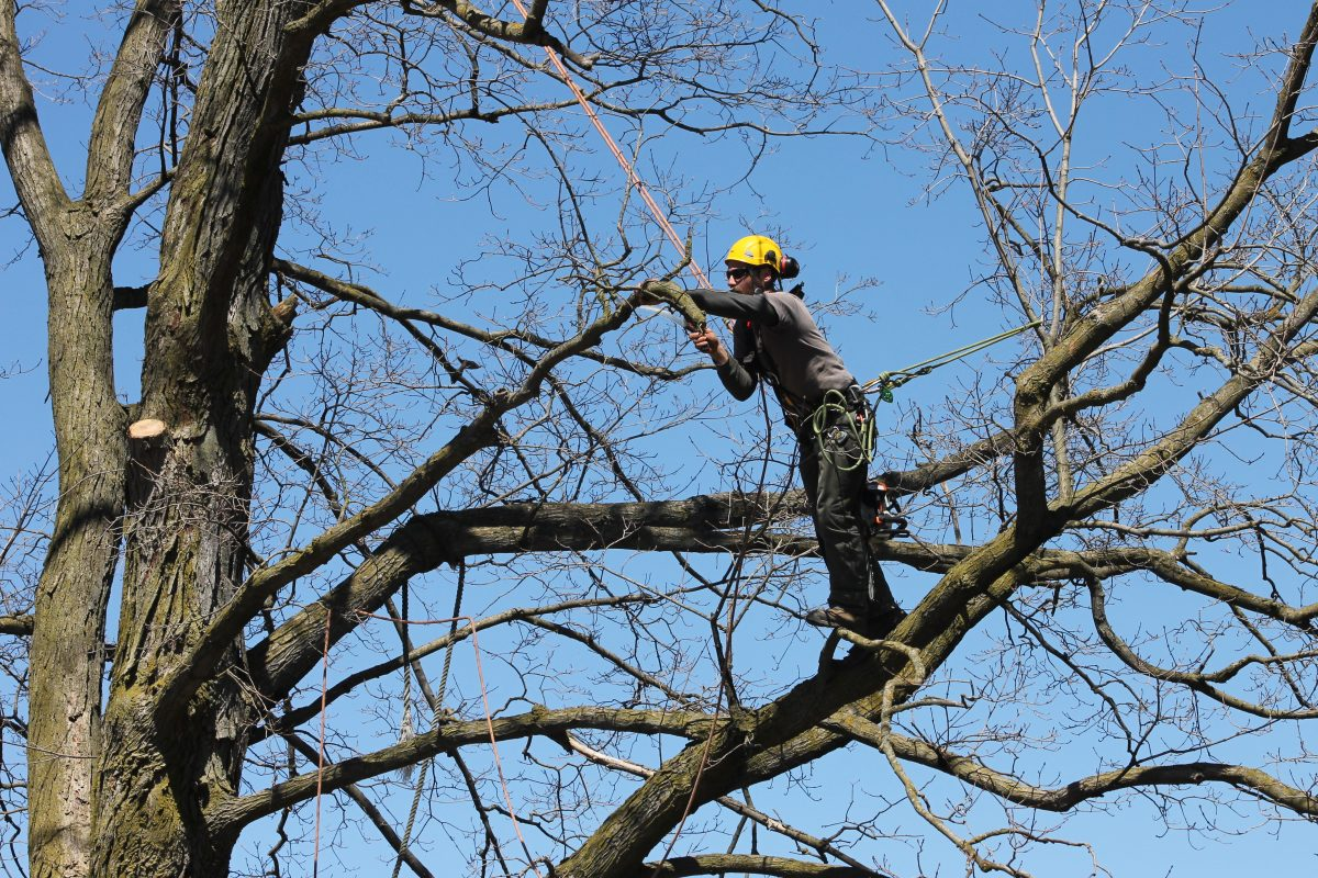 Man up on branch pruning red oak