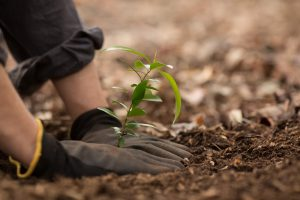 Two gloved hands packing soil around small tree sapling
