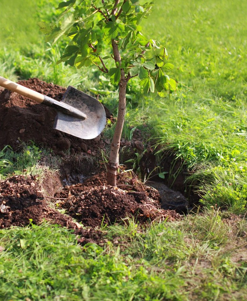 Planting small tree in dug hole