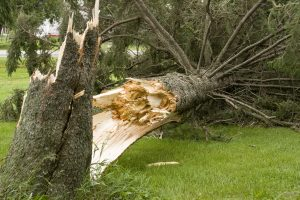 Large tree split at base of tree and fallen over