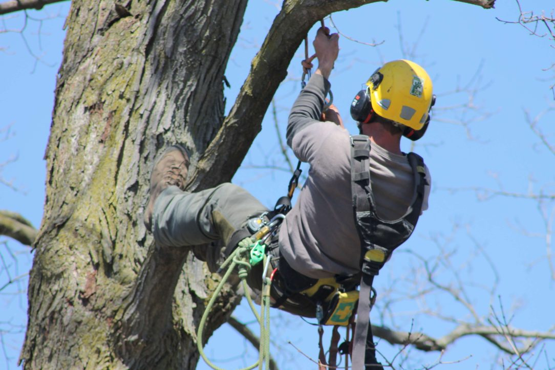 Arborist climbing tree doing pruning work with harness and safety equipment