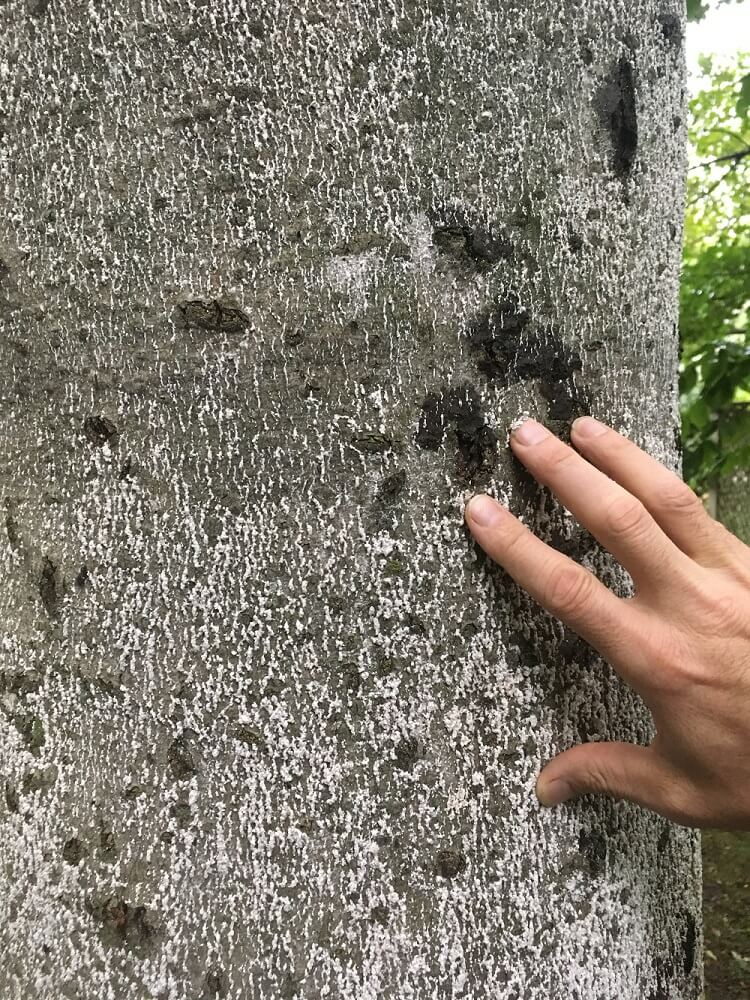 Tree showing signs of Beech Bark Disease (BBD)