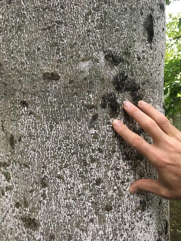 Tree showing signs of Beech Bark Disease (BBD)