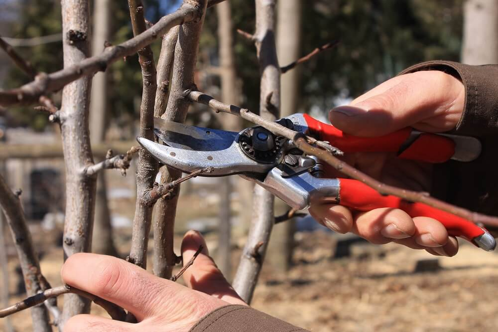 Arborist uses clippers to prune a tree branch
